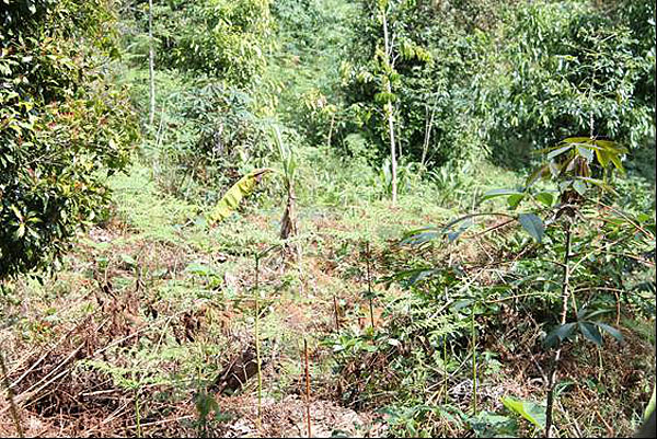 Farmland in Neluzasa that has been replanted with over 2000 tree seedlings and interspersed with clove and cinnamon trees.