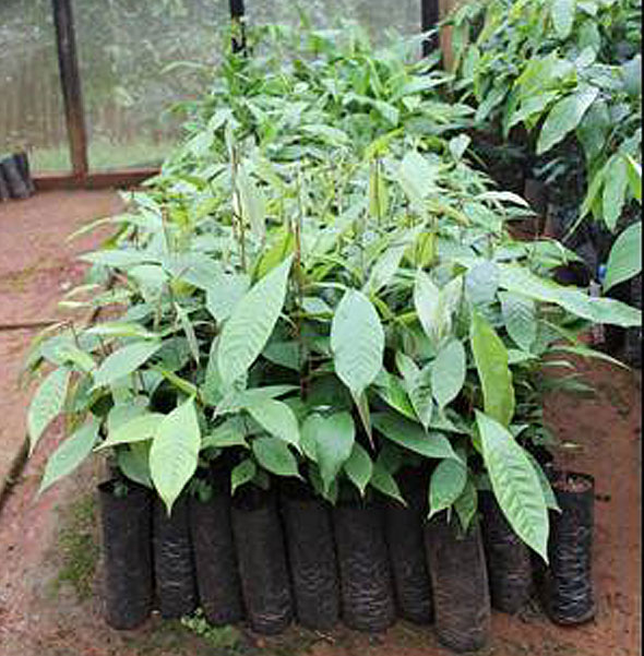 Seedlings of Chrysophyllum perpulchrum (Sapotaceae) growing in screenhouse in Emau Hill before being taken for planting in farmland nearby.  This species is known for treating fevers in Ivory Coast (western Africa) and has a number of similar medicinal uses in Tanzania.