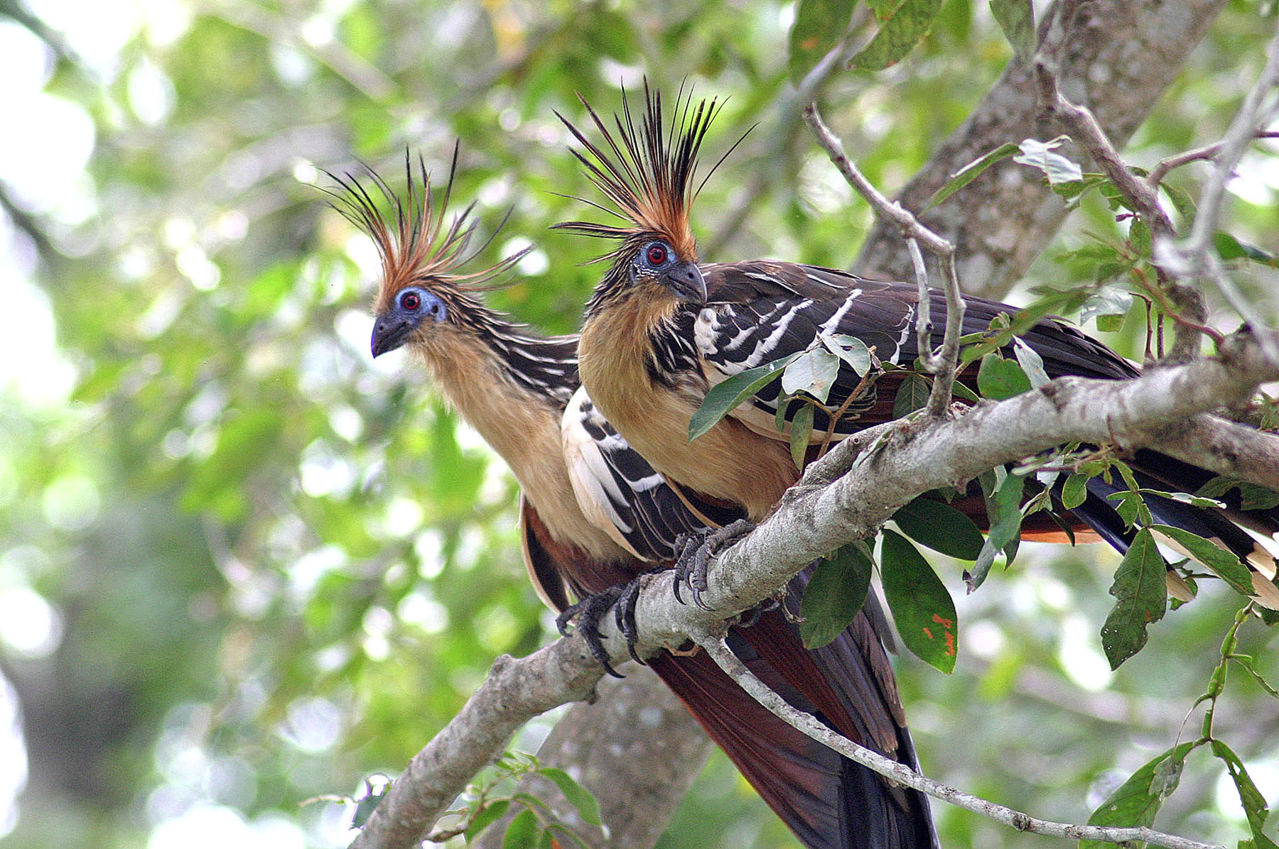 THE-HOATZIN-BIRD
